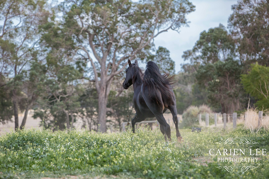 Bunbury-equine-photography-advance-attack-31