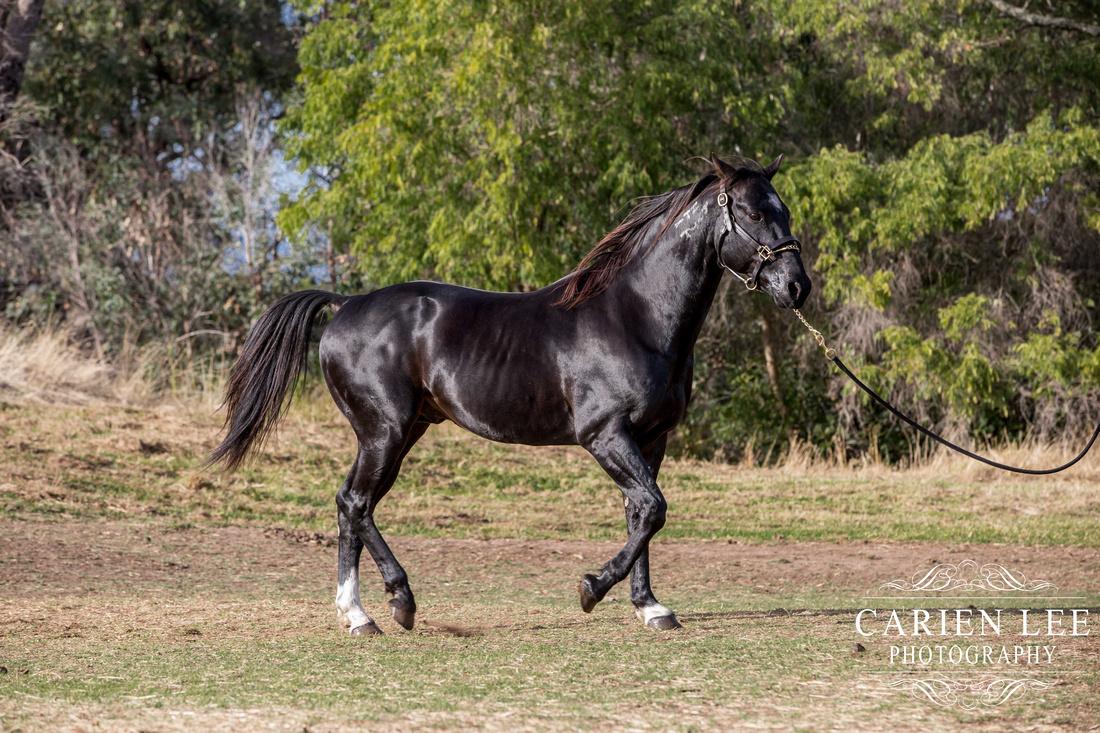 Bunbury-equine-photography-advance-attack-14